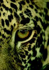 Eye of the Leopard_2.pdf